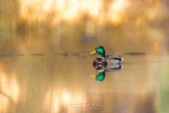Duck in awesome light (fire111) Tags: duck awesome light pov colors water
