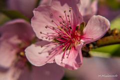 Peach blossom 09 (Milen Mladenov) Tags: 2017 d3200 nikon blossom flower flowers nature peach peachtreeblossom petal petals pink spring stamens