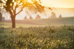 Morning dew (Rita Eberle-Wessner) Tags: landscape landschaft wiese weide meadows grass tree baum apfelbaum tau dew bokeh tiefenschärfe sonnenaufgang tauperlen sunrise morgentau odenwald streuobstwiese backlight gegenlicht oppositelight