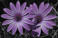 Double flower (J.Gargallo) Tags: flower flowers flor flores violeta garden outdoor plantas macro macrofotografía nature naturaleza castellón comunidadvalenciana castellóndelaplana eos españa eos450d canon canon450d tokina100mmf28atxprod tokina 450d
