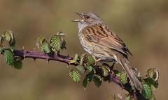 Dunnock 180417 (1) (Richard Collier - Wildlife and Travel Photography) Tags: wildlife naturalhistory birds british britishbirds dunnock naturethroughthelens ngc