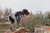 2017-04-12 à 16-25-49.jpg (martinmichiels) Tags: dog sand drathaar canon 5d mkii mark2 mk2 ef85mmf18 belgium northsea oostduinkerke