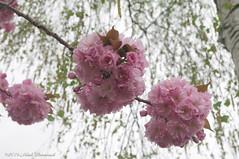 Cherry blossom (Natali Antonovich) Tags: tervuren blossom cherryblossom cherrytree nature enamouredspring spring belgium
