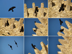 Short battle of crows (Giorgio Verdiani) Tags: sky italy black slr bird tower castle birds stone town fly flying fight eyes italia torre south battle olympus 2006 uccelli volo occhi cielo crow crows lotta pietra castello zuiko nero calabria penne sud 8mp corvo uccello evolt volatile paese e500 volatili corvi 40150mm piume 9shots fastaction novescatti azioneveloce