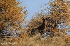 tra i colori autunnali (Alessandro.Gallo) Tags: corna cervo ungulati photoalexgallo