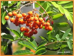 Rascafria (Madrid)_03 escaramujos (ferlomu) Tags: madrid arbol rascafría fruto ferlomu