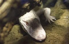 Mississippi Albino Alligator. (JayRao) Tags: fish paris france animals aquarium nikon october tropical 2014 jayr d610 portedoree
