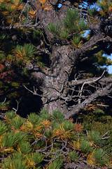 Pygmy Pitch Pine on Hawksbill Mountain 2014-1017-291 (LostPineJim) Tags: northcarolina linvillegorge pitchpine pinusrigida burkecounty hawksbillmountain