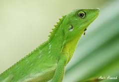 lizard DSC08717 (Amir H zah2) Tags: green lizard hijau kadal bunglon
