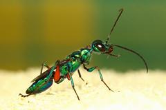 Emerald cockroach wasp (kampang) Tags: jewelwasp emeraldcockroachwasp ampulexcompressa