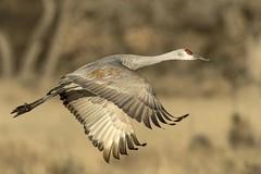 Sandhill Crane (daveinhst) Tags: new morning bird pool del mexico am apache nikon crane flight bosque socorro sandhill avian bda 782 121713