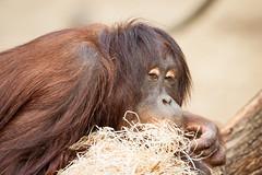 2014-09-16-14h42m23.272P2687 (A.J. Haverkamp) Tags: germany zoo orangutan rostock dierentuin orangoetan httpwwwzoorostockde canonef500mmf4lisiiusmlens