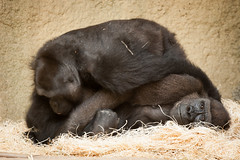 2014-09-16-15h17m59.272P2744 (A.J. Haverkamp) Tags: germany zoo gorilla rostock dierentuin yene westelijkelaaglandgorilla pobzurichswitzerland eyenga httpwwwzoorostockde canonef500mmf4lisiiusmlens dob18072004 dob14012001 pobportlympneengland