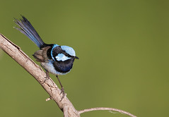 superb fairywren (Malurus cyaneus)-0256 (rawshorty) Tags: birds australia canberra act jerrabomberrawetlands rawshorty