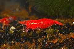 Neocaridina heteropoda crevette red cherry (lolodoc) Tags: aquarium shrimp crevette crustac lolodoc invertbr eaudouce dejault