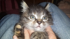 Kitty cat (hatvanigyula) Tags: cat macska cica cuki