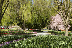 Tulip Top Gardens, Bywong (Anna Calvert Photography) Tags: flowers trees nature garden landscape spring tulips blossoms australia bulbs environment canberra bywong tuliptopgardens