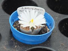 DSCF0398 (BobTravels) Tags: plant stone bob lithops lithop messem bobwitney