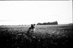 fox, far, far away from cities (i*) Tags: film konica