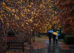 Umbrellas in the Autumn Rain (Dalliance with Light (Andy Farmer)) Tags: autumn trees color fall leaves rain bench campus nj sidewalk walkway princeton umbrellas princetonuniversity