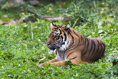 Sumatran Tiger 23 (cypher40k Photography) Tags: blackandwhite toronto color colour zoo nikon tiger bigcat sumatrantiger torontozoo