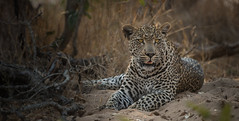 Umfana (Lea Duckitt) Tags: africa travel boy vacation male cat southafrica mammal feline child explore leopard lad stunning strong majestic hoedspruit bigfive timbavati firstborn jaydee wildlifewednesday umfana