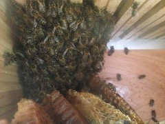 A colony of Honey bees just moved into their new home; A new GlastonBees Warre Beehive