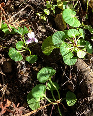 Ivy-leaved violet (Viola hederacea) ([S u m m i t] s c a p e) Tags: linden australia bluemountains newsouthwales violahederacea faulconbridge trailwalking ivyleavedviolet iphonography