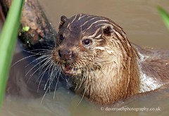 European Otter (Lutra lutra lutra) (Dave N Roach) Tags: europeanotter photographyworkshop naturesphotos lutralutralutra