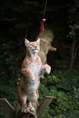 I'll get it (Cloudtail the Snow Leopard) Tags: wildpark pforzheim tier animal mammal säugetier katze cat feline luchs lynx nordluchs europäischer eurasischer sprung jump springen nordluchseuropäischer cloudtailthesnowleopard