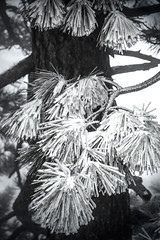 Frosted (rowjimmy76) Tags: november trees winter snow pine southerncalifornia needles hps sangabrielmountains angelesnationalforest 2011 angelescresthighway canonef24105mmf4lisusm mountwilliamson hundredpeakssection 5dm2 5dmii pleasantviewridgewilderness