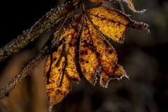 Autumn Frost (Klaus Ficker) Tags: autumn winter usa fall ice beautiful beauty closeup canon frozen frost kentucky eos5dmarkii klausficker