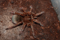 """own cb 0.1 Theraphosa stirmi subadult 2 • <a style=""""font-size:0.8em;"""" href=""""http://www.flickr.com/photos/77637771@N06/15551943616/"""" target=""""_blank"""">View on Flickr</a>"""