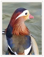 Canard mandarin (loralia3) Tags: nature oiseau plumes canardmandarin