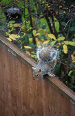 IMG_1465 (jpnapper) Tags: canon squirrel stm 55250