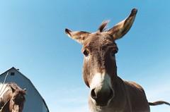 burro (Valeriya Bezuglaya) Tags: blue sky horse canada film nature 35mm canon october day kodak burro heat hay stable hooves         35
