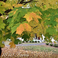 "It's easy to see why I love our old Sugar Maple Tree, isn't it?  #fall #foliage • <a style=""font-size:0.8em;"" href=""http://www.flickr.com/photos/54958436@N05/15566962162/"" target=""_blank"">View on Flickr</a>"