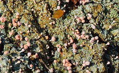 Pink Earth Lichen Patch (Odonata457) Tags: pink earth lichen baeomycesroseus