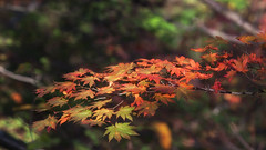 Bunches (jasohill) Tags: city autumn red green fall nature leaves yellow october branches bunches   akita tohoku yuzawa 2014 oyasukyo