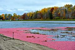 Cranberry marsh On Explore! 2014-10-20) (cowboy6688) Tags: ontario cranberry marsh muskoka wetland