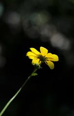 _MG_8047 (sir_mac_alot66) Tags: sun flower fotografie petal fotografia fotografa   fotograph fotoraflk