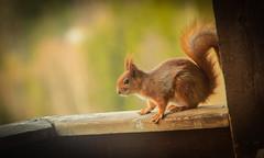 Acorn (Ludvius) Tags: animals acorn ludovicophotography wwwludovicophotocom