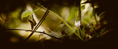 Savage (Dr eelgood ) Tags: flower green forest wildcyclamen peppetornetta