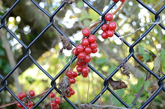 Berries on a fence