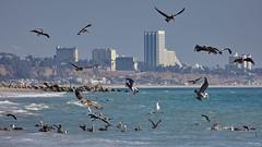 Brown Pelicans, Gulls and Terns, Santa Monica Bay CA CQ4A1579 (Hart Walter) Tags: brownpelican malibulagoon marbledgodwit earedgrebe santamonicabay pelicanfeedingfrenzy