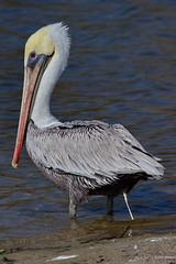 Brown Pelican, ad., pooping,, Malibu CA CQ4A1507 (Hart Walter) Tags: brownpelican malibulagoon marbledgodwit earedgrebe santamonicabay pelicanfeedingfrenzy