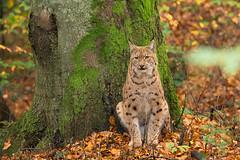 Lynx (Rob Christiaans  Nature and Wildlife) Tags: autumn fall forest germany bavaria lynx wildpark bayerischerwald neuschnau canon500mmf4is canon5dmkiii