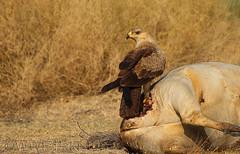 Tawny Aagle (Zahoor-Salmi) Tags: camera pakistan macro nature birds animals canon lens photo tv google flickr natural action wildlife watch bbc punjab wwf salmi walpapers chanals discovry beutty bhalwal zahoorsalmi