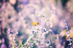 (BRNDON JAMES) Tags: flowers flower nature colors fauna butterfly garden insect flora colorful dof purple bokeh meadow lavender arboretum monarch 75300mm hazy