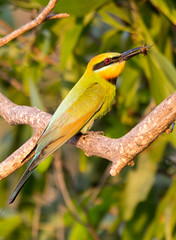 Bee-eater with dinner (JanetHum) Tags: birds darwin northernterritory beeeater mindilbeach